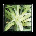 Quadro Botânico Planta Babosa em Tecido Canvas para Área Externas Sala Hall 53X53cm, Quadro Emoldurado na cor Preto