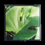 Quadro Botânico Costela De Adão  em Tecido Canvas para Área Externas Sala Hall 53X53cm, Quadro Emoldurado na cor Preto