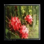 Quadro Botânico Fruta Pitaya em Tecido Canvas para Área Externas Sala Hall 53X53cm, Quadro Emoldurado na cor Preto